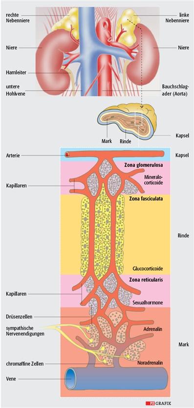 Nebennieren: Über-, Unter- und Fehlfunktionen | Pharmazeutische Zeitung