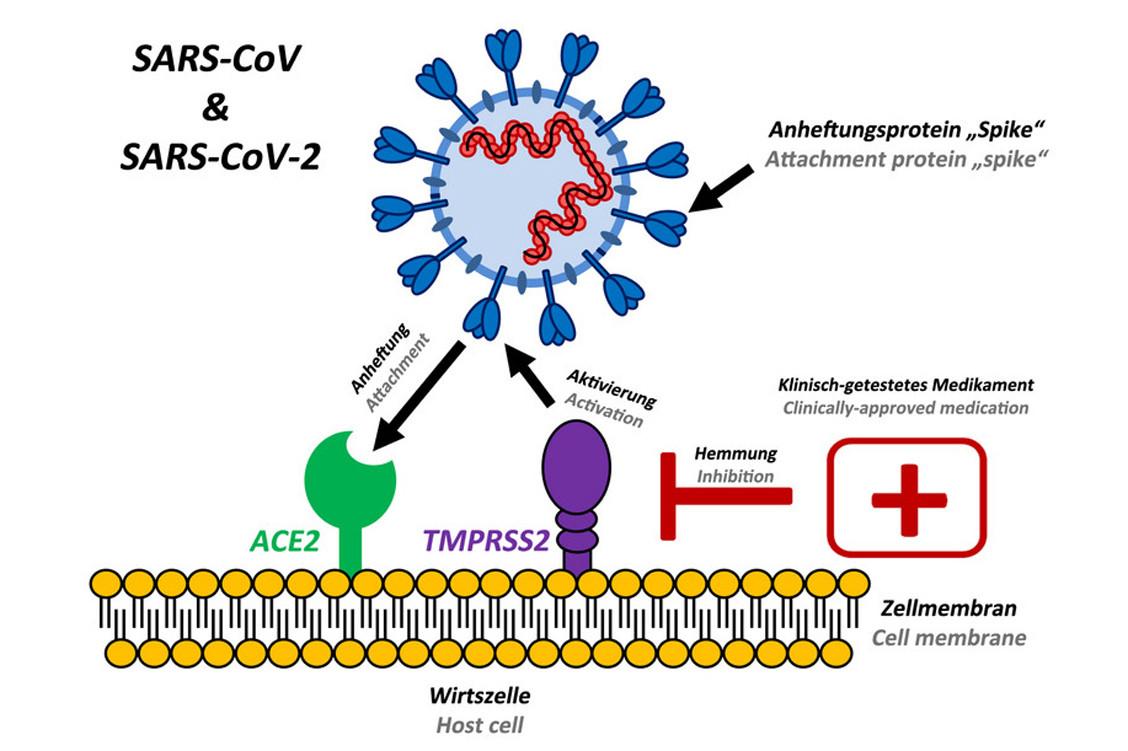 Target gefunden: Japanisches Medikament könnte gegen SARS-CoV-2 ...